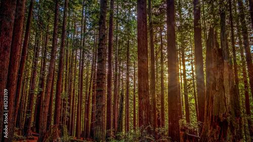 Fotomural  Redwood Sun