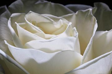 Obraz na Plexi Czarno-Biały snow-white rose petal macro