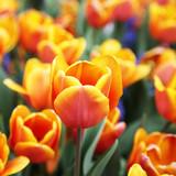 Przepiękny tulipan