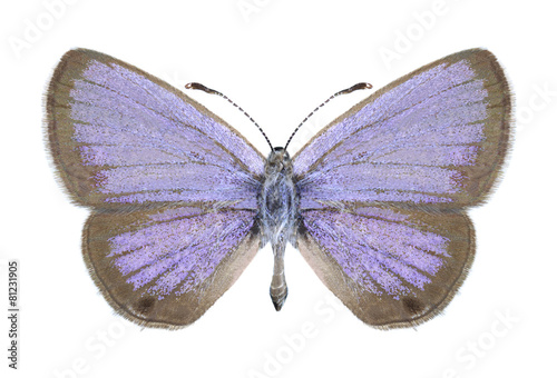 Photo sur Toile Papillons dans Grunge Butterfly Chilades galba (male)