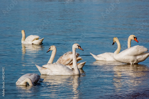 Poster Cygne Swans and seagulls on the sea
