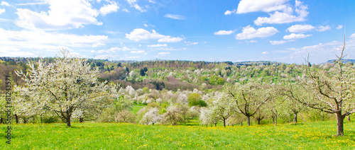 Fototapeta Owocowy kwiat wiosną - Baden Württemberg, Remstal