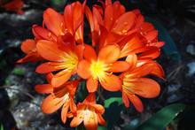 Close View Of Clivia Orange Fl...