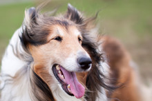 Rough Collie Dog In Wind