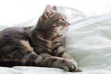 European Shorthair Cat, Closeup And White Background