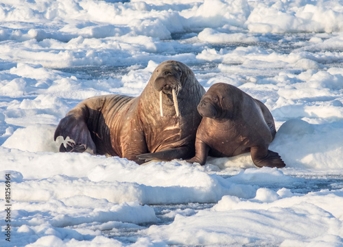 Poster Pole Couple of walruses on the ice - Arctic, Spitsbergen