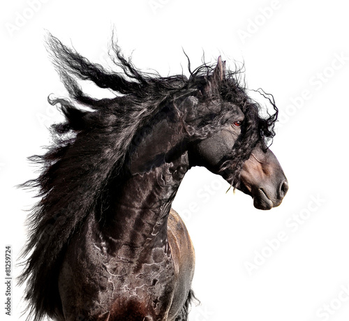 Leinwand Poster friesian horse portrait with long mane isolated on white