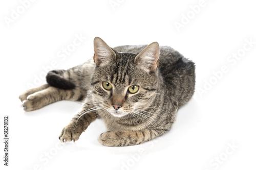 Foto op Canvas Eekhoorn Gray cat
