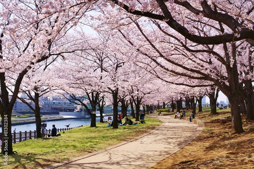 Staande foto Kersen 桜並木