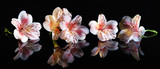 Fototapeta Kwiaty - Alstroemeria. Beautiful flowers with reflection