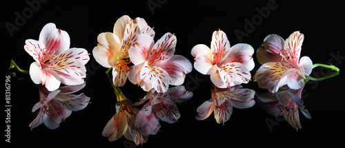 Deurstickers Bloemenwinkel Alstroemeria. Beautiful flowers with reflection