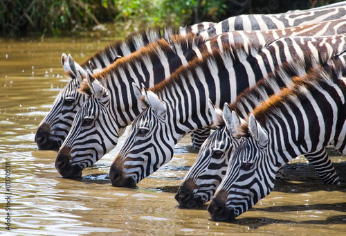 Photo Stands Bestsellers Zebras drinking water. Tanzania.