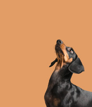 Dachshund Looking Up