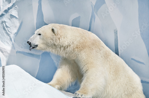 Poster Polar bear Белый медведь.