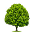 Leinwandbild Motiv Perfekter Baum, eine Esche auf weiß