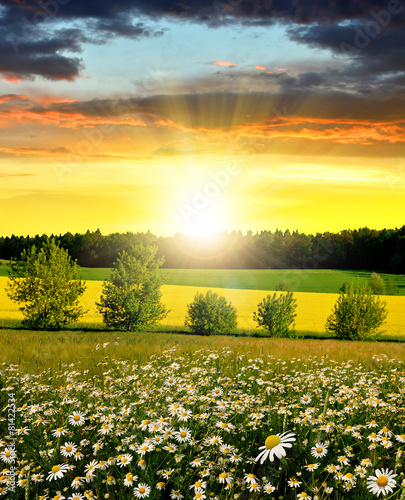 Spring landscape with field of marguerites at sunset