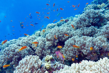 Naklejka na ściany i meble coral reef at the bottom of tropical sea, underwater