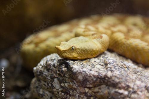 Photo  Royal Cobra (Ophiophagus hannah)