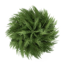 Tree Bush Isolated. Chamaecyparis Lawsoniana Top