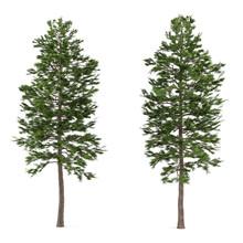Tree Pine Isolated. Pinus Sylvestris