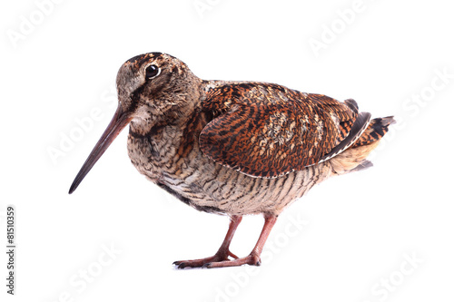 Eurasian Woodcock (Scolopax rusticola) isolated on white Wallpaper Mural