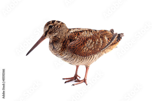 Valokuvatapetti Eurasian Woodcock (Scolopax rusticola) isolated on white