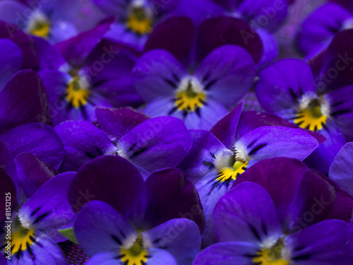 beautiful wild violets - 81512125