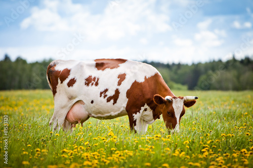 Poster Koe Cow In A Field