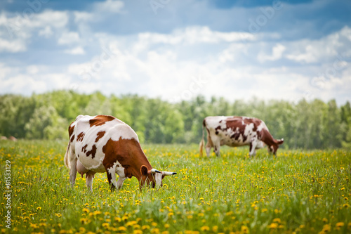 Staande foto Koe Cows In A Field