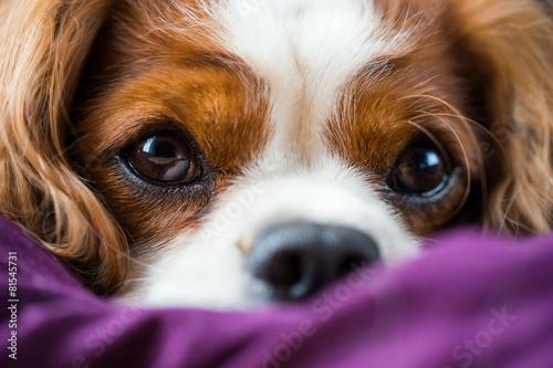 Canvas Print Süsser Hund, Cavalier King Charles Spaniel