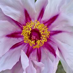 Fototapetavibrant pink peony flower closeup