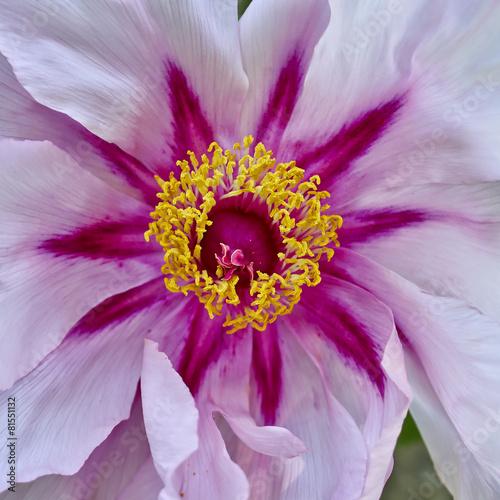 vibrant pink peony flower closeup - 81551132