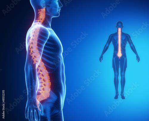 Fotografía  SPINE bone anatomy x-ray scan