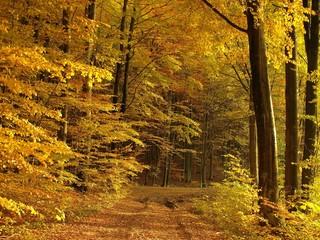 Fototapetasunny autumn forest