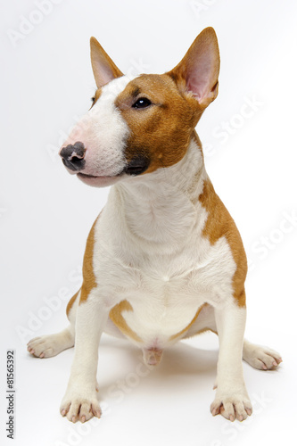 Stampa su Tela Portrait of sitting dog breed bull terrier on white background