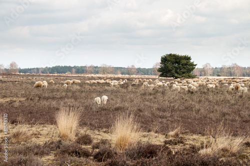 Canvas Prints Sheep Schaapskudde op de hei