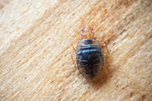 Bed Bug On Wood