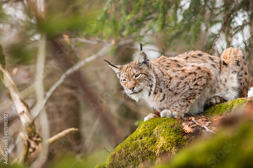 Photo Stands Lynx portrait lynx