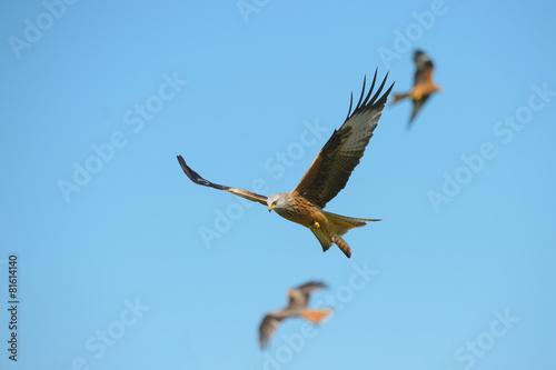 Photo  Red Kite