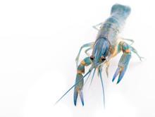 Crawfish Alive One Isolated On White, Close Up