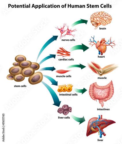 Fotografie, Obraz  Stem cell_application