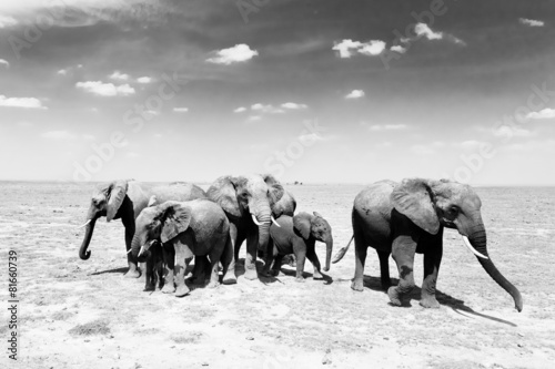 Photo Stands Bestsellers Loxodonta africana, African bush elephant.