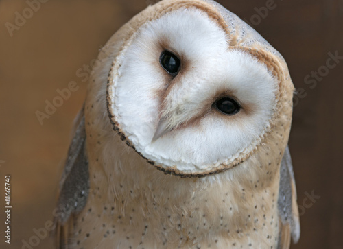 In de dag Uil Close up portrait of a barn owl (Tyto alba)