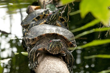 Two Turtles Mating On Tree Trunk