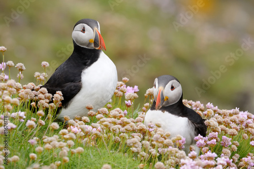 Cuadros en Lienzo  Two Atlantic Puffins together in pink thrift.