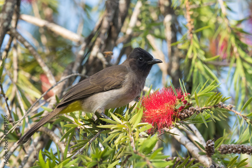 Fotografering  Blackeyed bulbul (Pycnonotus barbatus) perched beside a bottle b