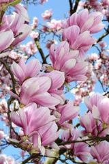 Panel Szklany Kwiaty Magnolia