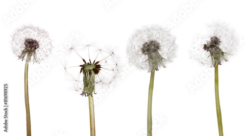 four isolated white old dandelions