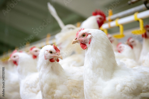 Tuinposter Kip White chickens farm