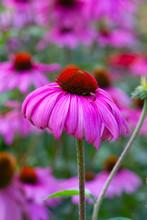 Rudbeckia /Coneflower Pink Ger...